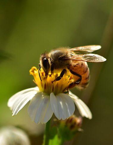 Ionian Bee